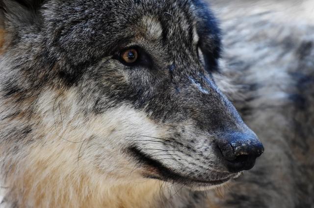 Волк остро чувствует страх.