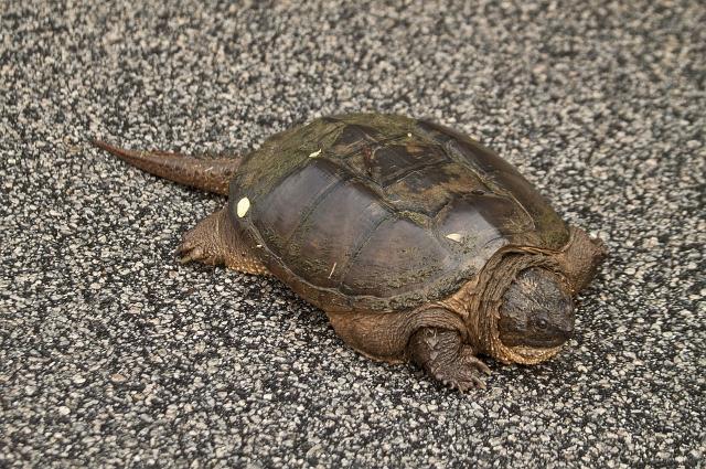 Каймановая Черепаха обитает в естественной среде на другом континенте - в Северной Америке.