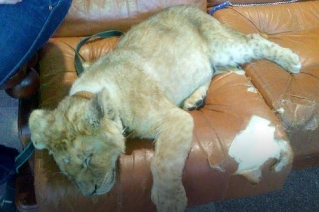 Львенка каждый день накачивали транквилизаторами.