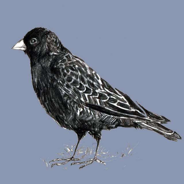 Черный жаворонок - еще один вид редко встречающийся даже на территории заповедника.
