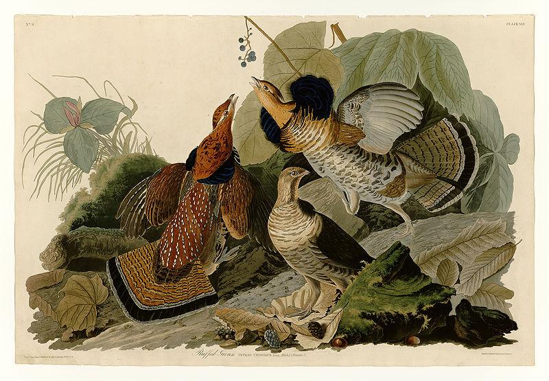 Джон Джеймс Одюбон. Рисунок рябчиков.