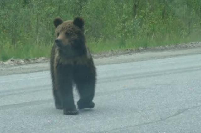 Медведь на трассе Ханты-Мансийск – Сургут