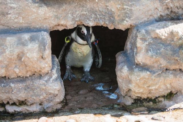 Не все яйца пингвины высиживают удачно.