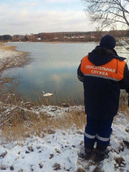 Лебедь не хотел покидать озеро, где жил со своей половинкой.