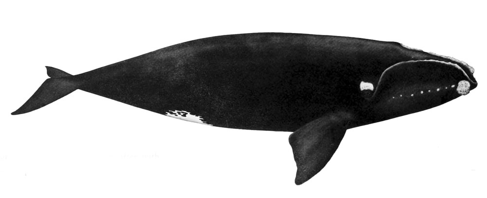 Северный гладкий кит.