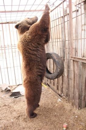 Поначалу медведица была дикой и закрытой, но Павел смог её приручить.