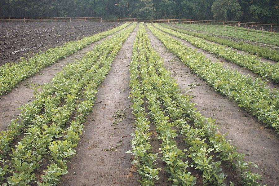 В питомниках выращивают необходимые культуры, чтобы полностью обеспечить лесхоз посадочным материалом.