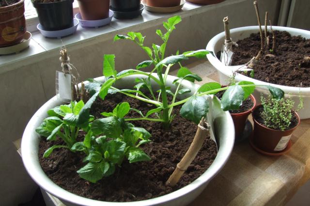 Подращивание георгинов в тазах.