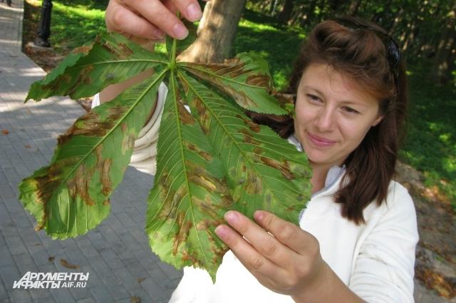 Моль превращает листья каштанов в решето.