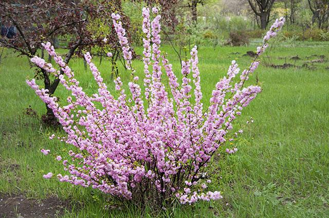 Обильное цветение миндаля сорта Источник: веточек почти не видно
