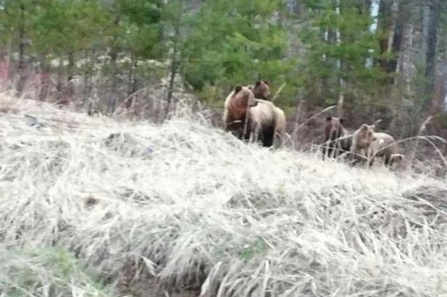Медведица и 3 медвежонка попали в объектив.