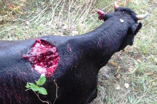 Работники фермы обнаружили в траве растерзанную корову, которую хищник пытался утащить в лес, но не смог. Корова была ещё жива, но её пришлось прирезать, чтобы не мучилась.
