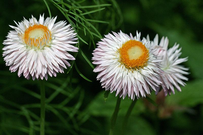Гелихризум (Helichrysum)
