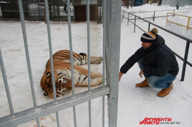 Тигр Лотос никогда не демонстрировал агрессию.