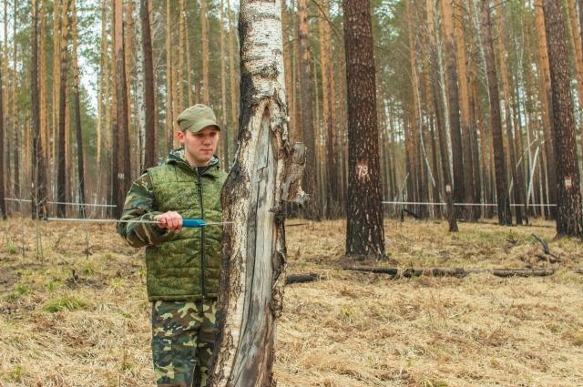 Здоровье  «лёгких» планеты - в руках  лесопатологов.