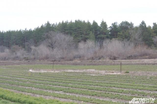Сеянцы сосны здесь выращиваются с одной целью создание лесных насаждений на территории Волгоградской области