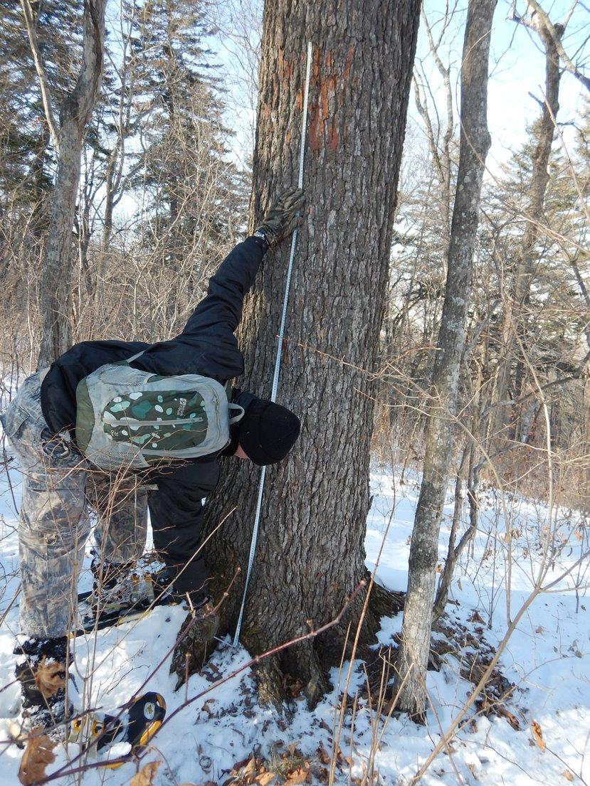 Измерение высоты следов от когтей на дереве.