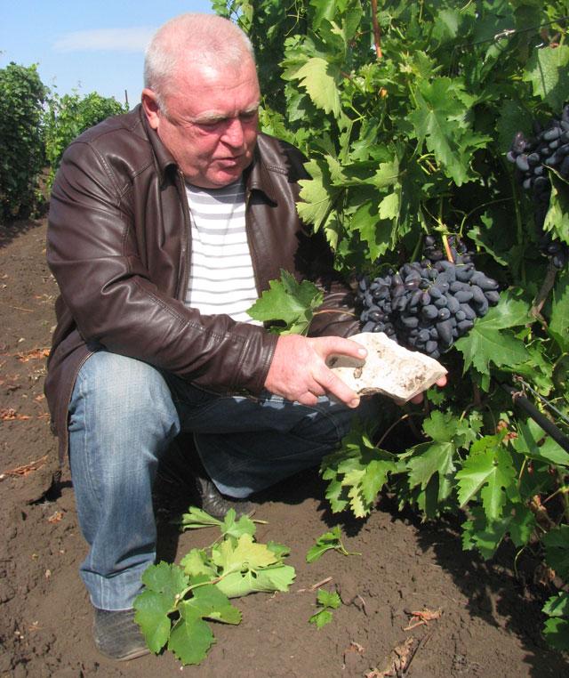 Самарский виноград не боится морозов и дает обильный урожай.
