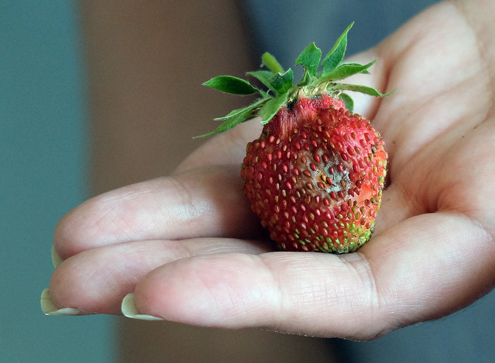 В прохладное и дождливое лето может сгнить до половины урожая клубники.