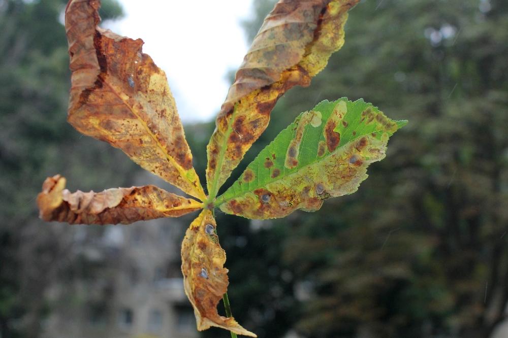 Каштан – дерево не для рязанского климата.