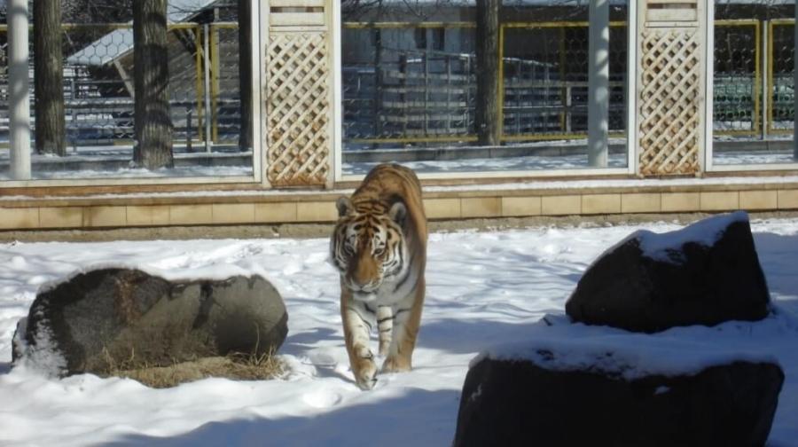 У возрастных тигров проблемы со здоровьем.