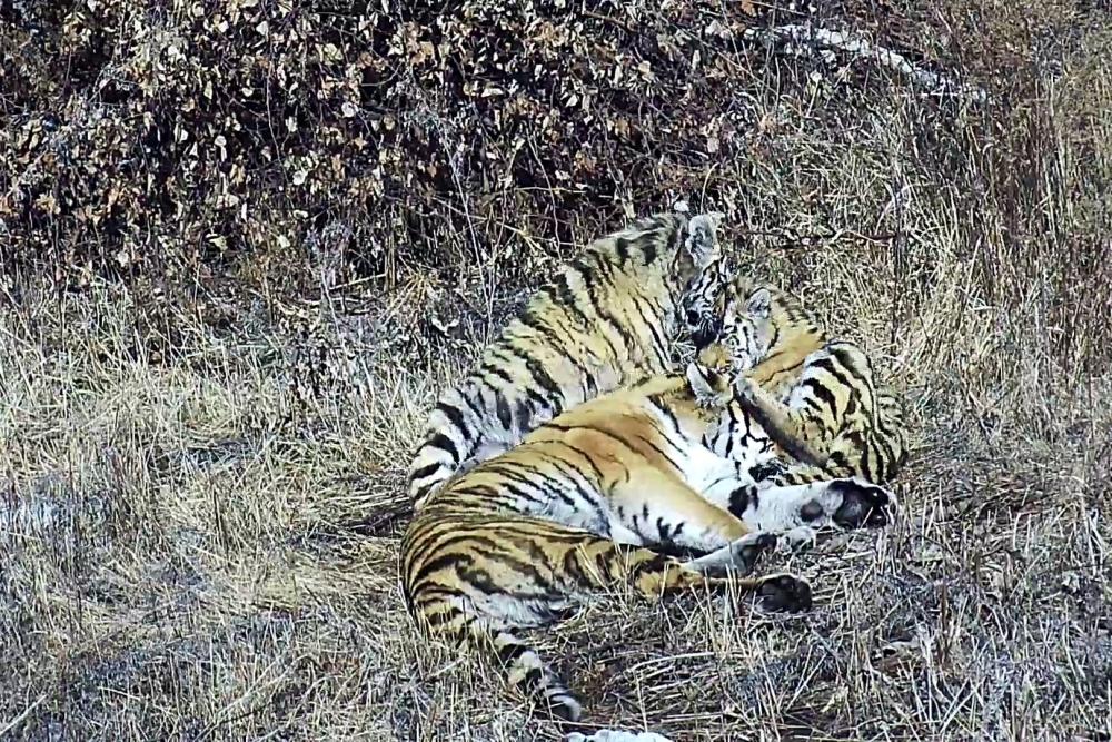 Тигры Павлик и Елена в неволе были вместе, а в дикой природе их пути разойдутся