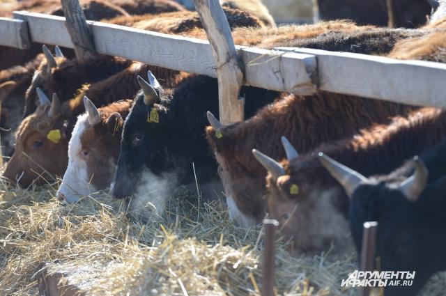 У Романа в хозяйстве 30 коров, он планирует купить ещё 40 голов