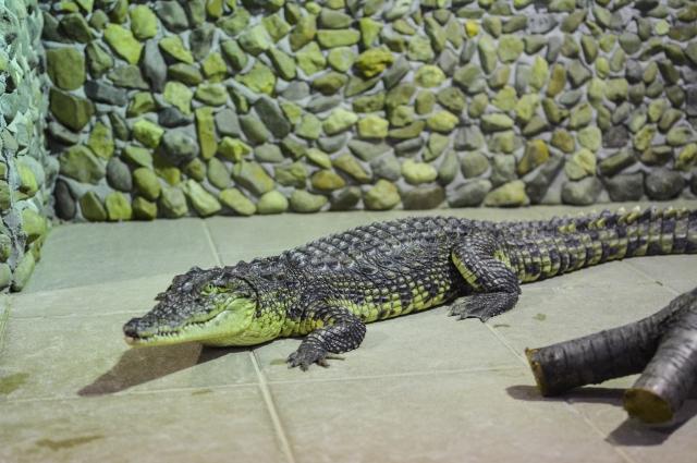 Недавно заменили крокодилов, потому что прежние выросли.