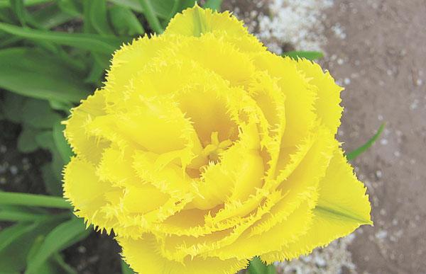 После появления бахромчатых тюльпанов селекционеры направили усилия на то, чтобы они стали еще и махровыми. Например, желтый бахромчатый сорт Мон Амур Mon Amur отлично зарекомендовал себя в коллекции ГБС