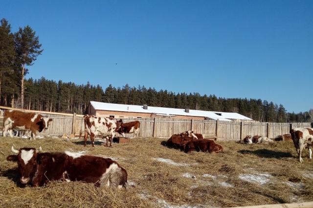 Поголовье скота постепенно увеличивается.