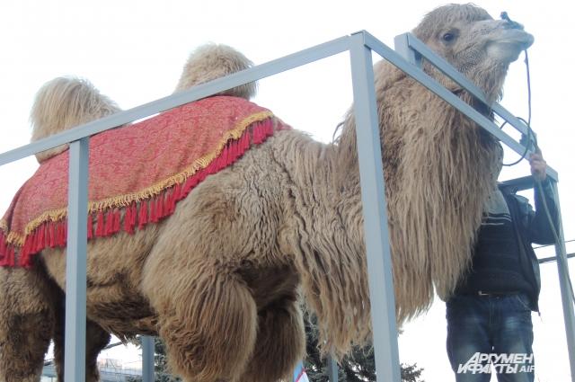 Верблюд Вася вёл себя спокойно