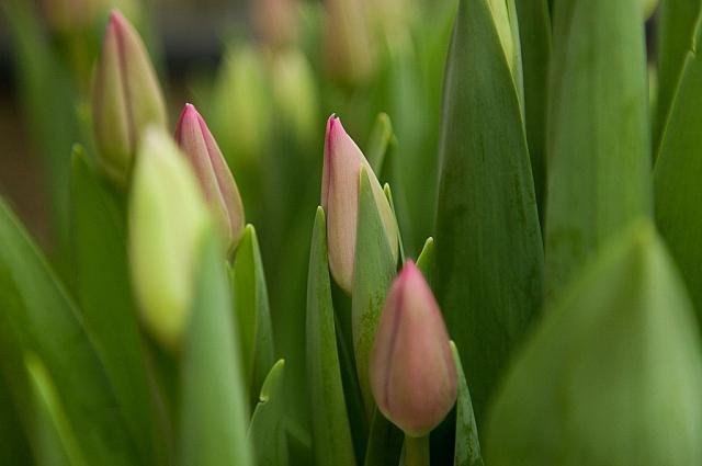 Тюльпаны в теплицах.