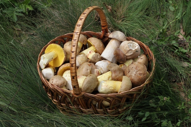 Лучше всего собирать грибы в корзину, чтобы они дышали.