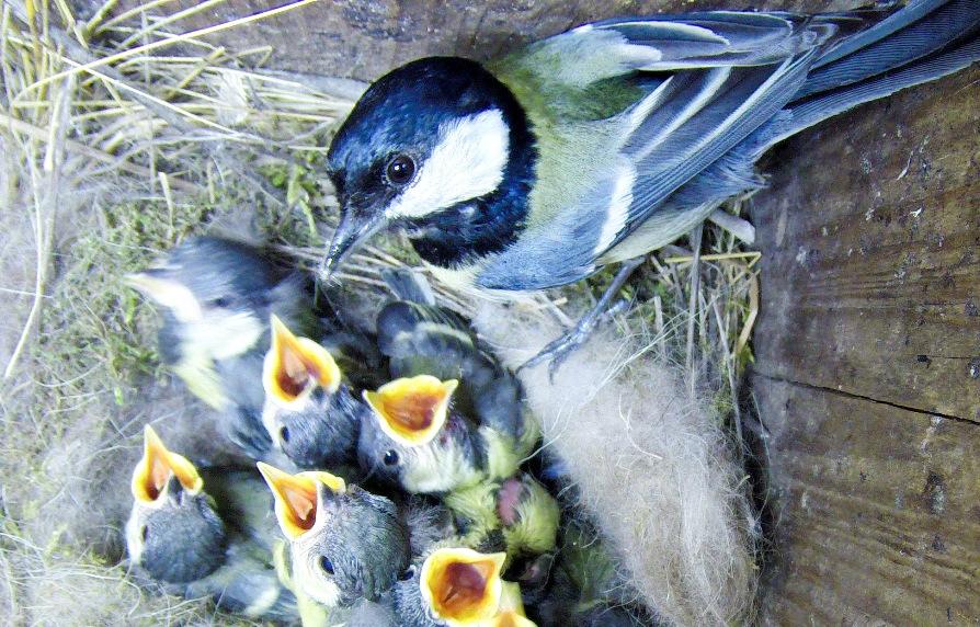 У большой синицы птенцов много, так что ей просторный скворечник тоже по душе.