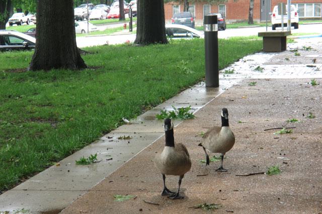 Канадские гуси гуляют прямо по территории университета.