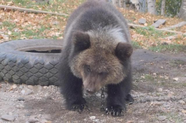 На то, чтобы забрать медвежонка, дается неделя.