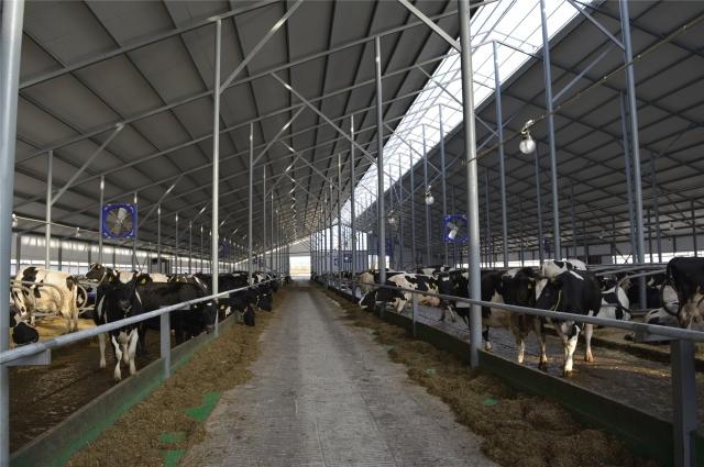 В Яльчикском районе открылась новая ферма на 400 голов, сегодня там поселились уже 310 коров.