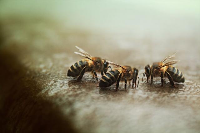 пчелы, вымирают во всем мире.
