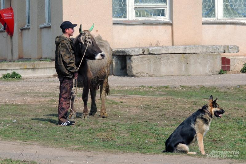 На улицах Григорова: коров привели на прививку