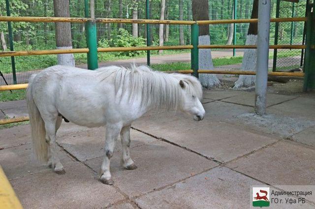 шотландский пони