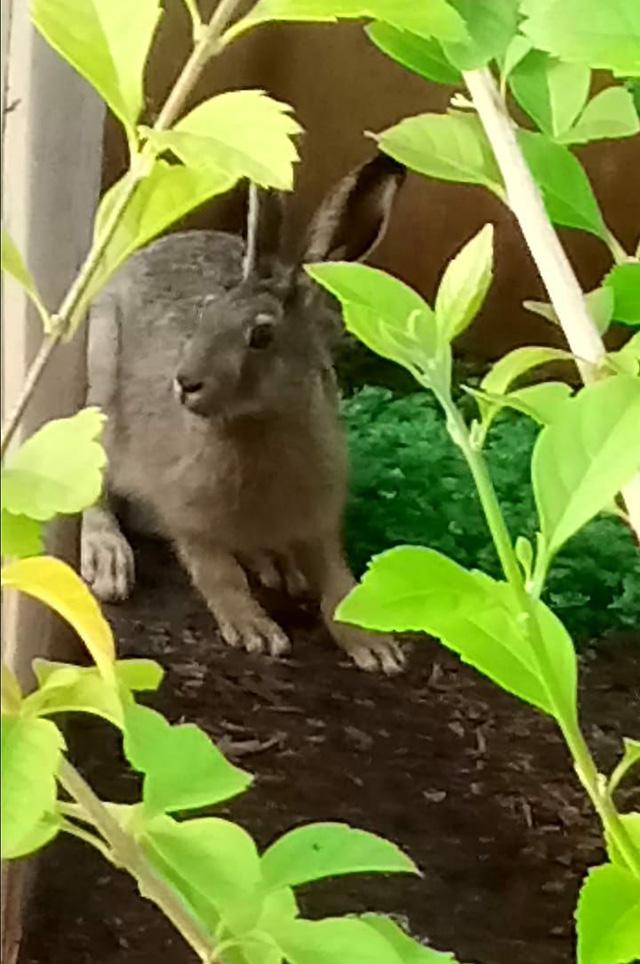 Заяц в лимонарии