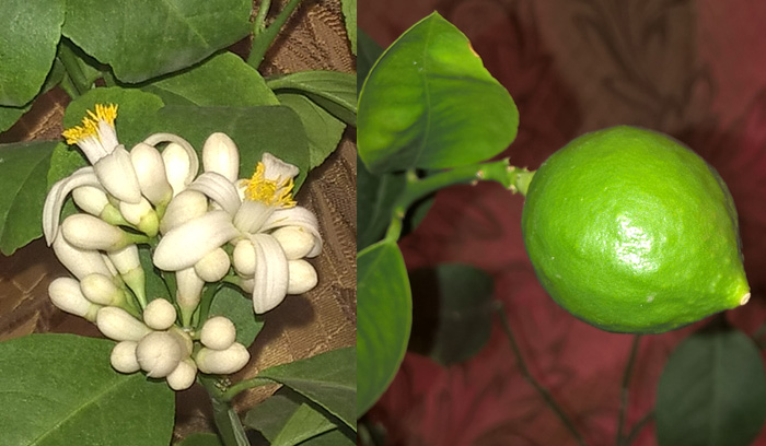 Павловский лимон: соцветие/зрелый плод