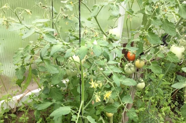 Нужно проветривать теплицу у томатов.