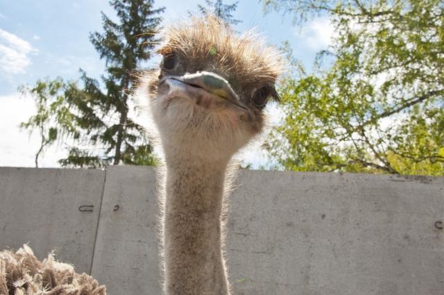 На страусиной ферме тоже можно отдохнуть от шума.