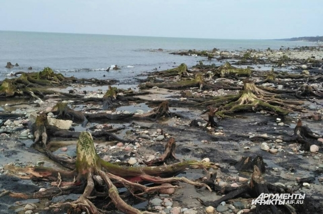 На побережье Балтийского моря, в курортном Зеленоградске, отступившая вода обнажила древний лес.