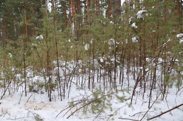 Молодые деревца тонкие и хрупкие