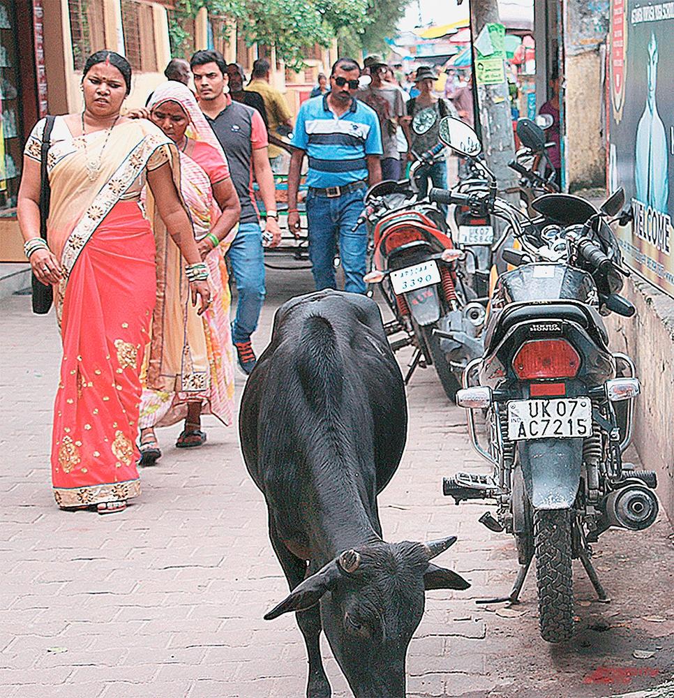 Коровы, змеи, жабы... Количество священных животных в Индии зашкаливает...
