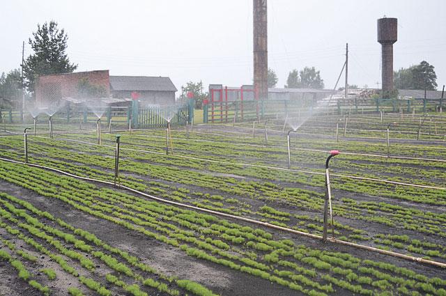 Благодаря системе полива и кропотливому труду лесокультурниц сосны-малютки чувствуют себя хорошо.