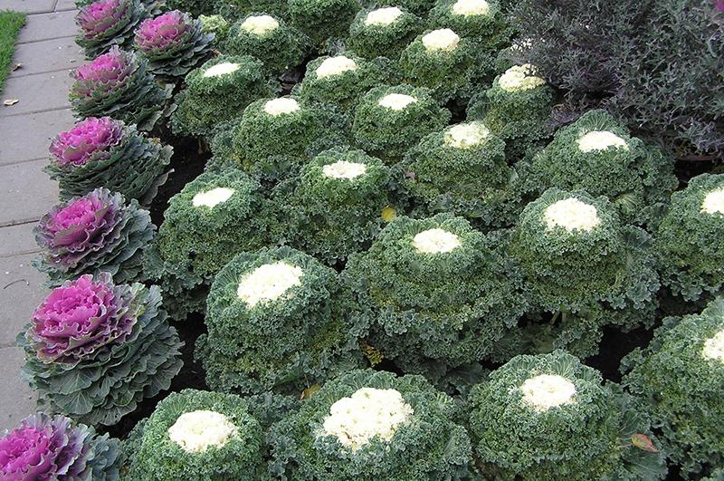 Декоративная капуста