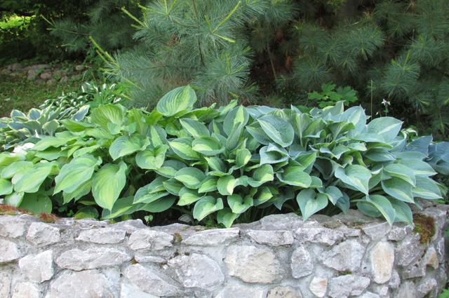 Хоста – идеальное растение  для мест, где зимой мало снега.